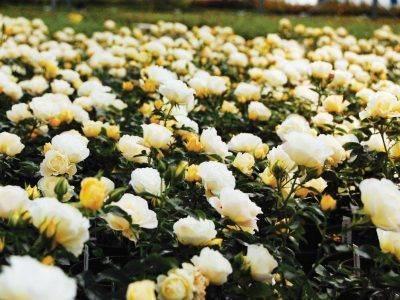 popcorn-drift-noua-vedeta-sezonului-pentru-pasionatii-de-flori-si-gradinarit3