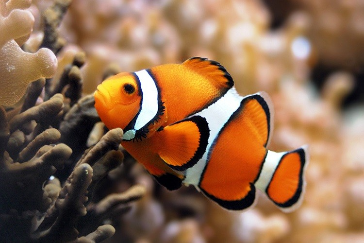 Peștele clovn